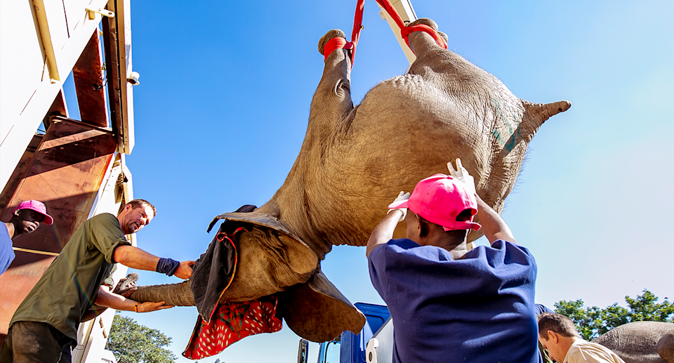 An elephant is lifted with a crane before being placed inside a box for transportation. Source: Lesanne Dunlop
