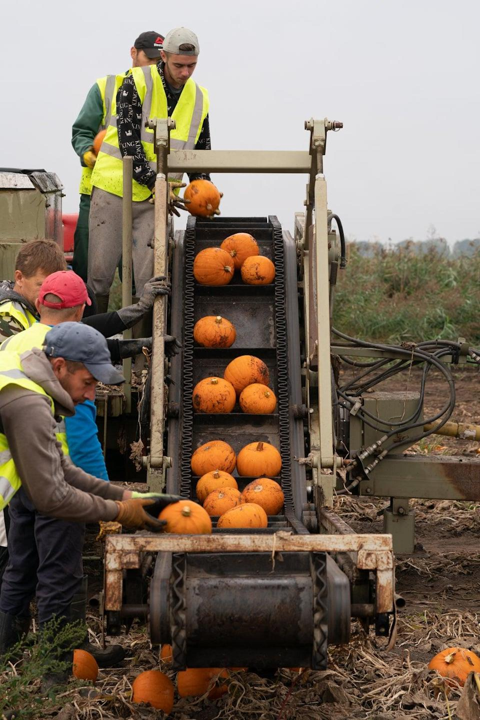 Workers harvest pumpkins at Oakley Farms near Wisbech in Cambridgeshire, which supplies British supermarkets including Tesco (Joe Giddens/PA) (PA Wire)