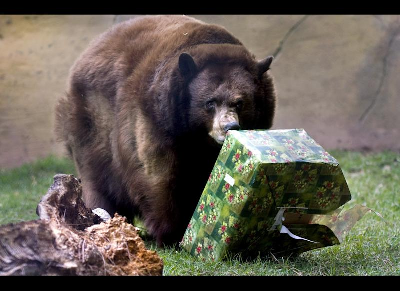 Yoyo, a black bear at the Orange County Zoo at Irvine Regional Park in Irvine, Calif., opens up a Christmas present on Saturday, Dec. 17, 2011 . The zoo wraps treats in gift boxes for the animals and places Christmas trees inside the exhibit for the holidays. (AP Photo/Orange County Register, Ana Venegas) MAGS OUT; LOS ANGELES TIMES OUT MBO