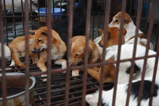 Dogs sit in a cage at a dog slaughterhouse in Hanoi. Canine meat has long been on the menu in Vietnam. For many older Vietnamese, dogs are an essential part of traditional Vietnamese cuisine that can coexist with pet ownership