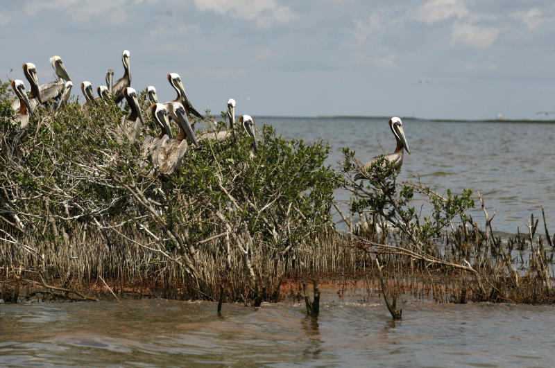 FILE - In this May 22, 2010 file photo, pelicans nest in mangrove on Cat Island as oil from the Deepwater Horizon oil spill, seen below, impacts the island in Barataria Bay, just inside the the coast of Lousiana, in this May 22, 2010 file photo. (AP Photo/Gerald Herbert, file)