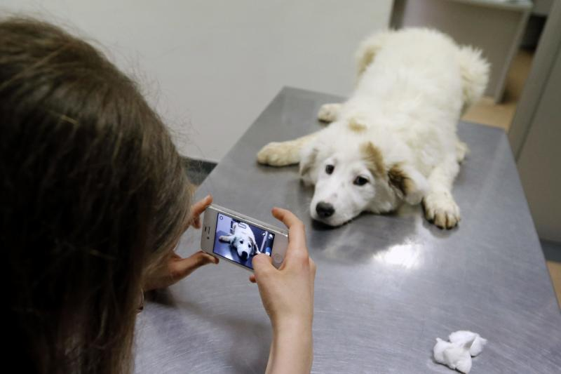 Ana-Maria Ciulcu takes pictures of a dog she rescued from the streets of Bucharest while a veterinary doctor makes him a vaccine in Bucharest March 28, 2014. Ana-Maria is just 13 years-old and she had the idea of using social media to find people willing to adopt a stray dog. Different from other children her age, she uses all her free time to save stray dogs. Her Facebook page turned into an adoption centre, very successful until now, with more than 150 dogs sent abroad to animal lovers mainly from Germany, Austria and Belgium. Picture taken March 28, 2014. REUTERS/Bogdan Cristel (ROMANIA - Tags: ANIMALS SOCIETY)