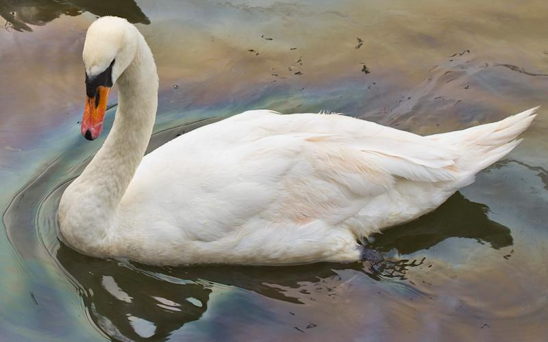 A swan in the River Kennet after an oil leak - Credit: Vagner Vidal/INS News Agency Ltd