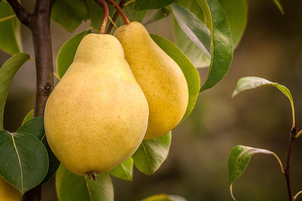 """<p>Pears have a very similar season to apples and are available from August through November. Delicate and sweet, <a href=""""https://www.thedailymeal.com/recipes/blue-cheese-pear-grilled-cheese?referrer=yahoo&category=beauty_food&include_utm=1&utm_medium=referral&utm_source=yahoo&utm_campaign=feed"""" rel=""""nofollow noopener"""" target=""""_blank"""" data-ylk=""""slk:pears offer a great contrast to bleu cheese in a sandwich"""" class=""""link rapid-noclick-resp"""">pears offer a great contrast to bleu cheese in a sandwich</a> and also <a href=""""https://www.thedailymeal.com/recipes/chai-poached-pears-recipe?referrer=yahoo&category=beauty_food&include_utm=1&utm_medium=referral&utm_source=yahoo&utm_campaign=feed"""" rel=""""nofollow noopener"""" target=""""_blank"""" data-ylk=""""slk:do very well when poached"""" class=""""link rapid-noclick-resp"""">do very well when poached</a>. If you find yourself with an excess of pears, <a href=""""https://www.thedailymeal.com/recipes/pears-ginger-syrup-recipe?referrer=yahoo&category=beauty_food&include_utm=1&utm_medium=referral&utm_source=yahoo&utm_campaign=feed"""" rel=""""nofollow noopener"""" target=""""_blank"""" data-ylk=""""slk:can them in a ginger syrup"""" class=""""link rapid-noclick-resp"""">can them in a ginger syrup</a>.</p>"""