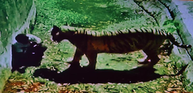 A television frame grab from Indian news channel Headlines Today shows a youth confronted by a white tiger inside its enclosure at the Delhi Zoo in New Delhi on September 23, 2014 (AFP Photo/--)