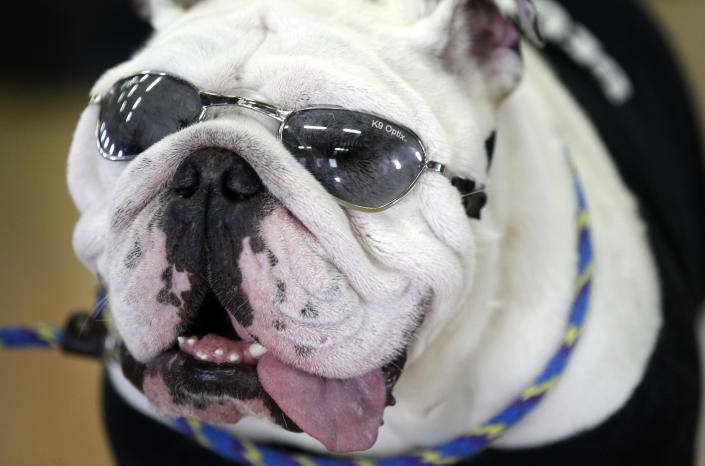 Charlie, owned by Scott and Susan Hanson, of Ankeny, Iowa, looks on during the 33rd annual Drake Relays Beautiful Bulldog Contest Monday, April 23, 2012, in Des Moines, Iowa. The pageant kicks off the Drake Relays festivities at Drake University where a bulldog is the mascot. (AP Photo/Charlie Neibergall)