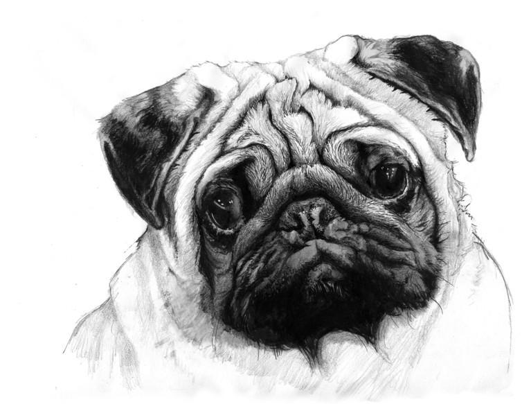 """<span class=""""caption"""">The pug – a long way removed from its ancestors.</span> <span class=""""attribution""""><span class=""""source"""">Penguin</span>, <span class=""""license"""">Author provided</span></span>"""