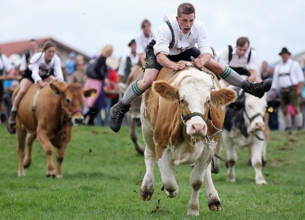 Participant Martin Breiter (C) dressed in traditional Bavarian lederhosen competes in the 5th ox-racing championship (5. Muensinger Ochsenrennen)on August 26, 2012 in Muensing, Germany. The competition, which only takes place once every four year, is a race of jockeys riding bareback on oxen across a field and is complemented with a morning procession and 'ox-ball' (featuring roasted ox) in a festivities tent after the races. (Photo by Johannes Simon/Getty Images)