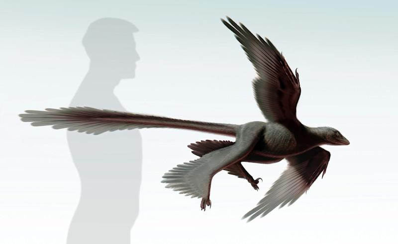 "An illustration released on July 11, 2014 by the Dinosaur Institute of the Natural History Museum of Los Angeles County shows an artist's impression of the ""Changyuraptor Yangi"" -- a dinosaur with four feathery wing-like appendages"
