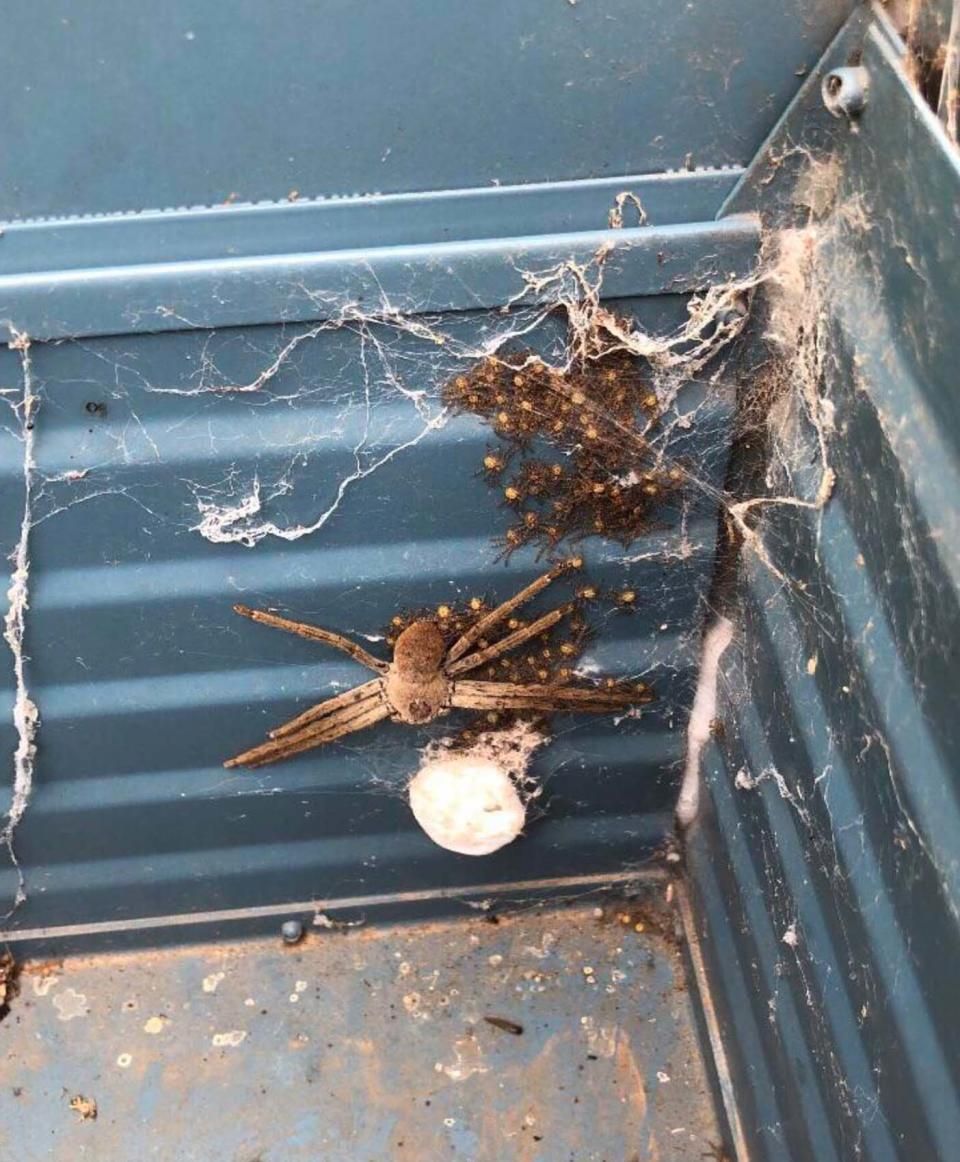 Huntsman spider with its baby spiders pictured in an Adelaide Hills letter box