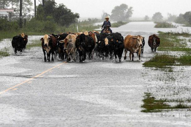 PHOTO: Jim Dunagan moves his cattle to higher ground as remnants of Tropical Depression Imelda flood parts of Southeast Texas, Thursday, Sept. 19, 2019, near Nome, Texas. (Jon Shapley/Houston Chronicle via AP)