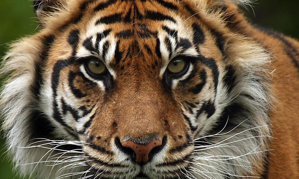 <p>This tiger subspecies lives in Indonesia, where only a few hundred are still alive in the wild. (Photo: WWF) </p>