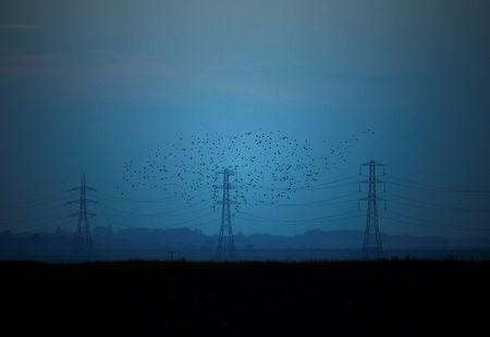FILE PHOTO: Migrating starlings fly at dusk past electricity pylons silhouetted by the sunset of a clear autumn evening in the Kent countryside,  in Graveney, Britain, October 26, 2015.    REUTERS/Dylan Martinez
