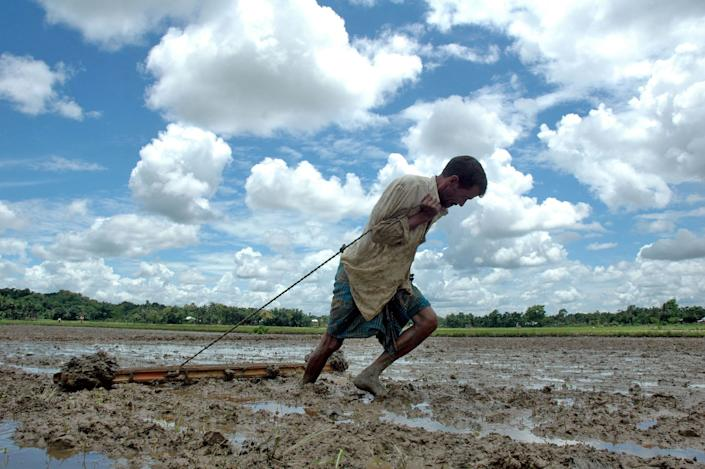 An Indian farmer drags a wooden plank to level soil as he works in a paddy field in Agartala, India. Many Indian farmers are adopting SRI to increase the productivity of rice by changing the management of plants, soil, water and nutrients. (Photo: Parthajit Datta/AFP/Getty Images)