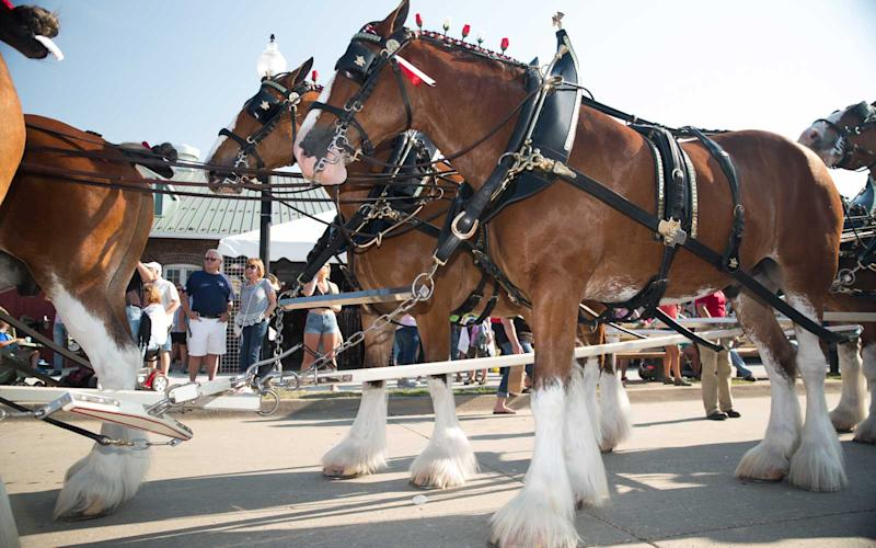 Every day at 5 p.m., the Budweiser Clydesdales parade through the grounds. Fairgoers can get close to have their photos taken with the prestigious horses, but still must maintain a 5-foot distance. | Jason Bergman