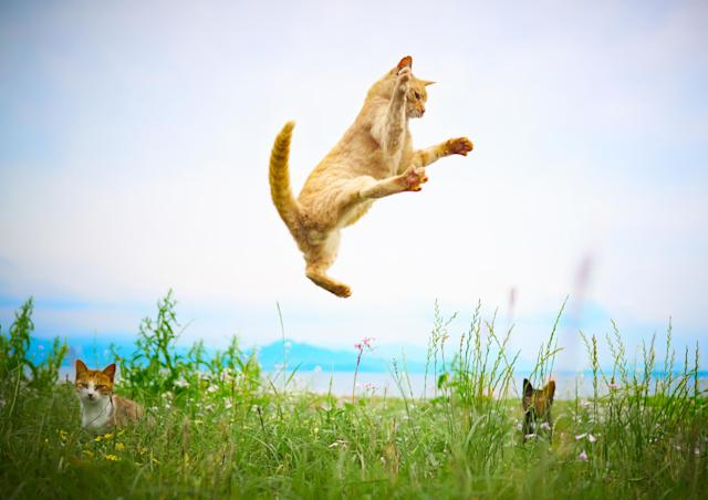<p><span>Once the cats are airborne, Hisakata uses his other hand to photograph the cats continuously using a fast shutter speed. </span>(Photo: Hisakata Hiroyuki/Caters News) </p>