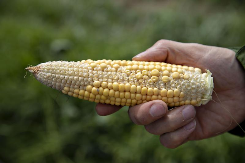 Abe's Claim That Japan Needs U.S. Corn Due to Pests Looks Shaky