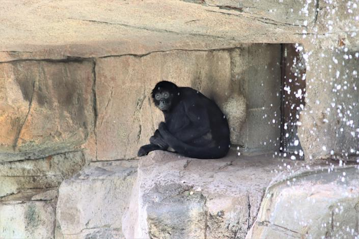 The spider monkeys are a popular exhibit at the El Paso Zoo and getting even more attention because of a trespasser's actions over the weekend.