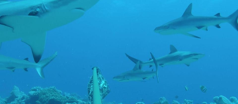 Sharks snagging fish off anglers' lines, study to find the felons