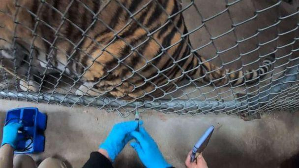 PHOTO: Through protective contact, tigers are trained to voluntarily present themselves for minor medical procedures, including vaccinations in this undated photo from the Oakland Zoo. (Oakland Zoo)