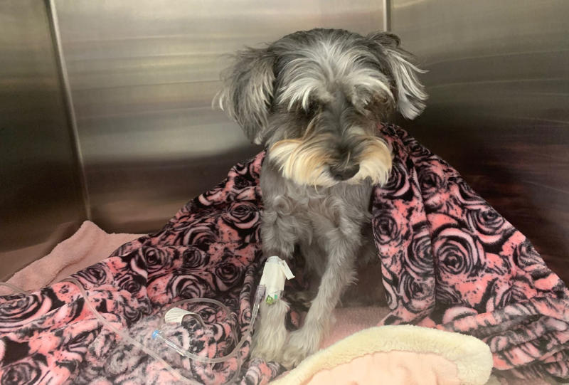 Sophie the dog recovers after suffering a collapsed lung and displaced heart.