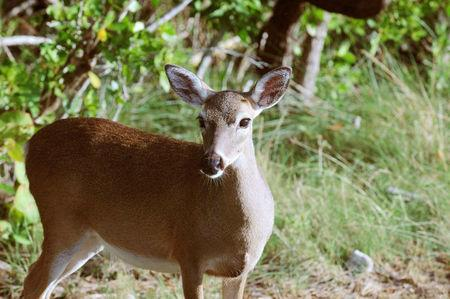 A Key deer (Odocoileus virginianus clavium) is pictured in this handout photo