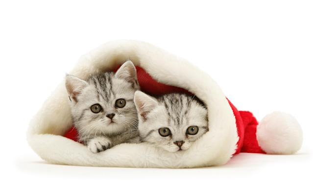 <p>Pair of silver tabby kittens (Photo: Warren Photographic/Caters News) </p>