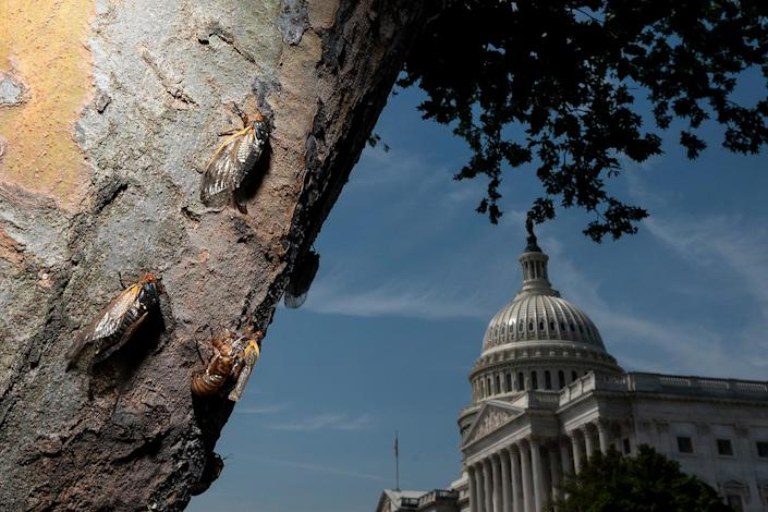 """<p>Cicadas climb a tree outside of the U.S. Capitol in Washington, D.C., on May 20.</p> <p>The insects that are part of Brood X, also known as the Great Eastern Brood, are expected to emerge in about 18 states, including in and around the Washington, D.C., area, Northern Virginia and Maryland, the <a href=""""https://www.nytimes.com/2021/03/28/us/cicada-brood-x.html"""" rel=""""nofollow noopener"""" target=""""_blank"""" data-ylk=""""slk:New York Times"""" class=""""link rapid-noclick-resp""""><em>New York Times</em></a> reports. They are also expected to emerge in Indiana, Tennessee, Kentucky, Ohio, New Jersey and New York.</p>"""