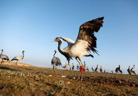 Cranes are seen at a hunting field in Bagram, Parwan province, Afghanistan April 10, 2019. Picture taken April 10, 2019. REUTERS/Mohammad Ismail