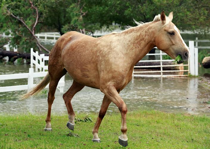 An escaped horse moves about near the floodwater caused by Hurricane Florence in Lumberton, North Carolina, U.S. September 16, 2018. REUTERS/Jason Miczek