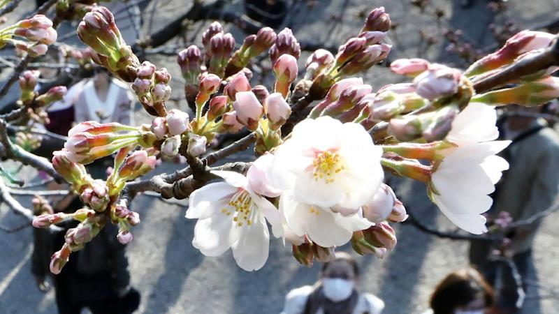 Japanese cherry blossom season is here but trees could be wiped out by foreign species of beetle