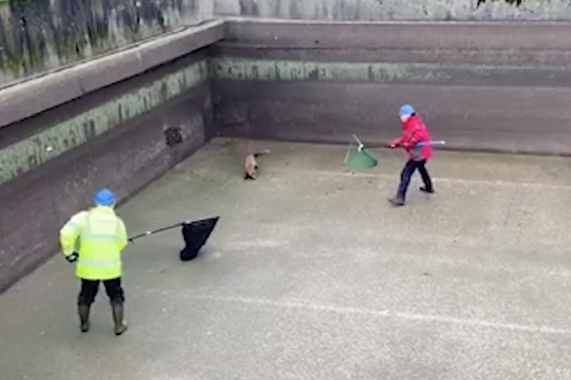 The wily fox evaded capture several times in the hilarious footage (Picture: SWNS)