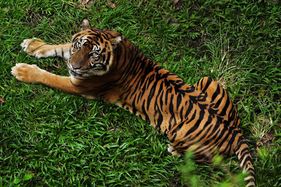 YOGYAKARTA, INDONESIA - JULY 16: A Sumatran tiger is seen at the Gembira Loka zoo located on July 16, 2017 in Yogyakarta, Indonesia.  Global Tiger Day, often called International Tiger Day, is an annual celebration to raise awareness for tiger conservation is held on 29 July. Tigers are on the brink of extinction and International World Tiger Day aims to bring attention to this fact and try to halt their decline. Many factors have caused their numbers to fall, including habitat loss, climate change, hunting and poaching and Tiger Day aims to protect and expand their habitats and raise awareness of the need for conservation.  PHOTOGRAPH BY Riau Images / Barcroft Images  London-T:+44 207 033 1031 E:hello@barcroftmedia.com - New York-T:+1 212 796 2458 E:hello@barcroftusa.com - New Delhi-T:+91 11 4053 2429 E:hello@barcroftindia.com www.barcroftimages.com (Photo credit should read Riau Images / Barcroft Media via Getty Images / Barcroft Media via Getty Images)