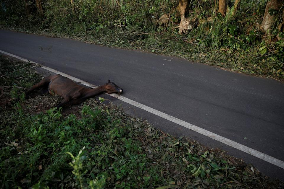 A dead horse is seen next to a road after the area was hit by Hurricane Maria in Quebradillas, Puerto Rico September 23, 2017. REUTERS/Carlos Garcia Rawlins