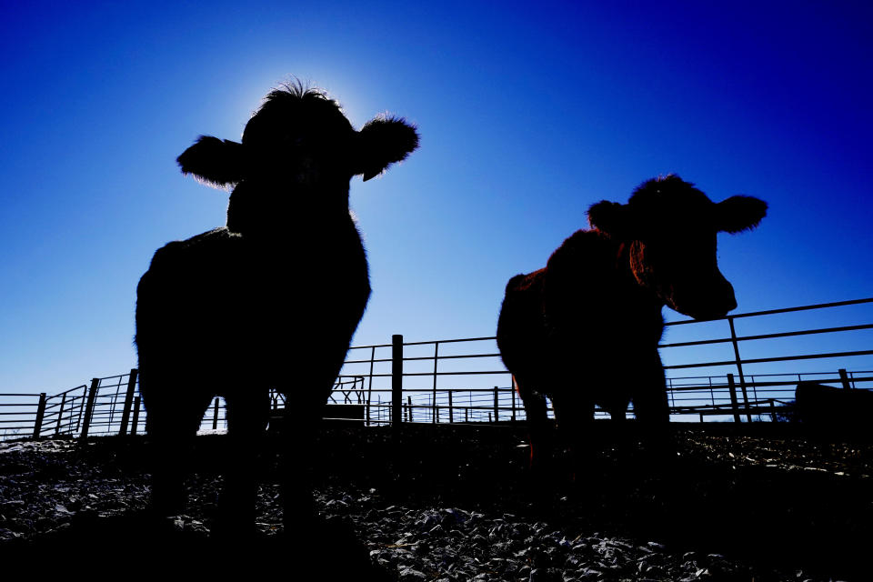Cows stand in a pen at the Vaughn Farms cattle operation, Tuesday, March 2, 2021, near Maxwell, Iowa. Sudden meat shortages last year because of the coronavirus led to millions of dollars in federal grants to help small meat processors expand so the nation could lessen its reliance on giant slaughterhouses to supply grocery stores and restaurants. (AP Photo/Charlie Neibergall)