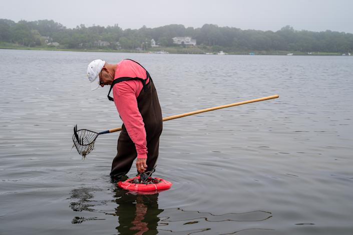 ORLEANS, MASSACHUSETTS - JULY 10: A man holds onto a clamming rake while clamming at low tide July 10, 2021 in Town Cove, Orleans, Massachusetts. He filled a bushel basket of cherry stone clams. (Photo by Robert Nickelsberg/Getty Images)