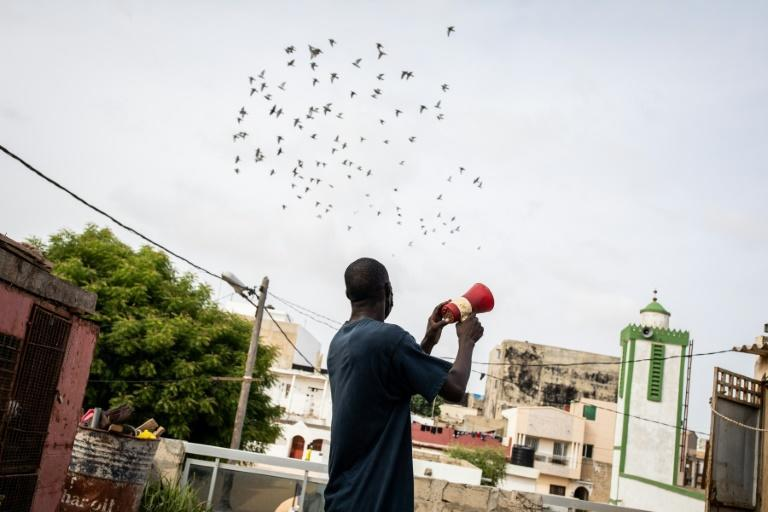 Long established in countries such as Belgium, France and China, pigeon racing took off in Senegal only over the past decade