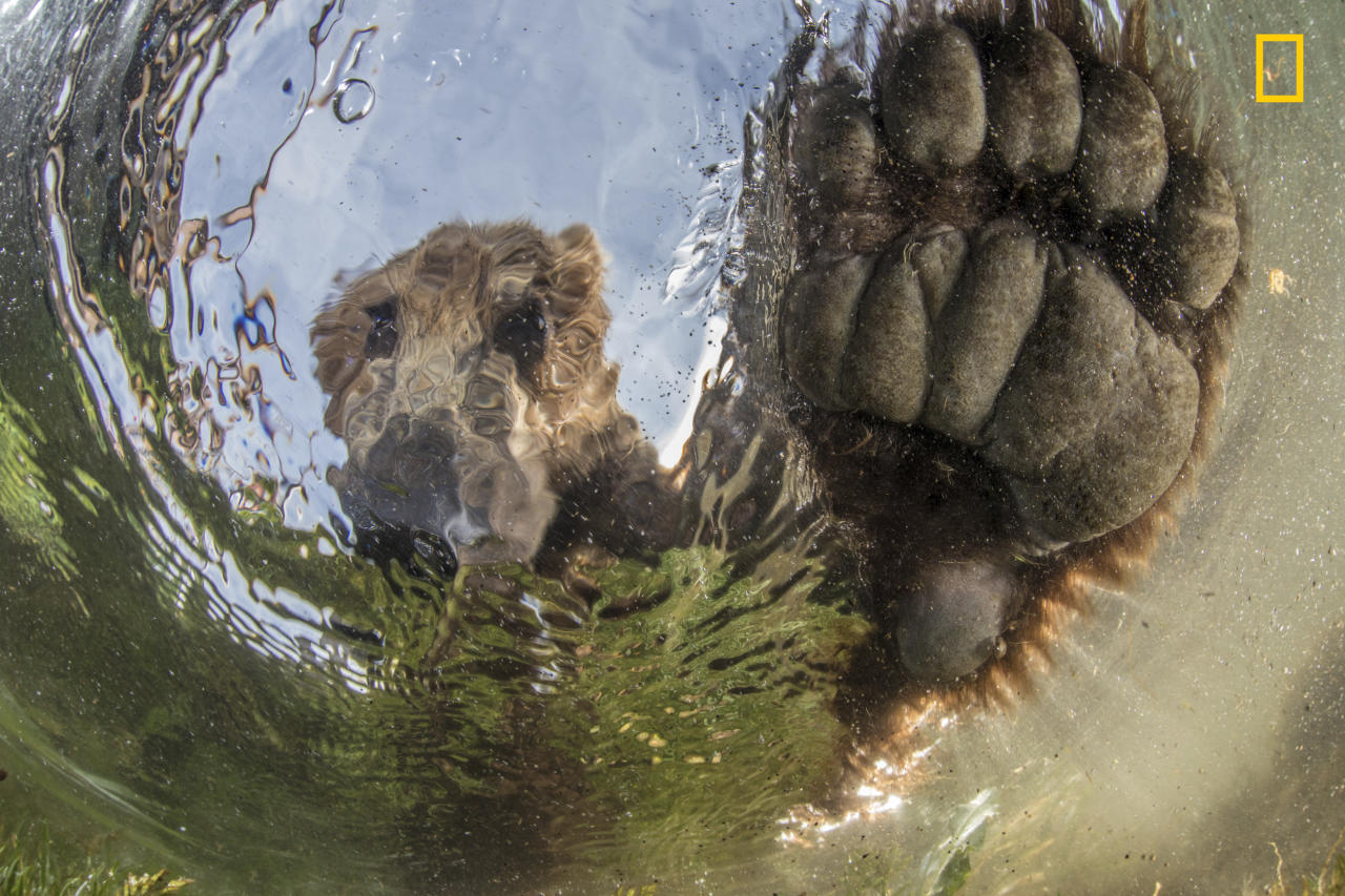 """<p>""""Bear from the water in Kamchatka, Russia"""" (<a rel=""""nofollow"""" href=""""http://yourshot.nationalgeographic.com/profile/376648/"""">Mike Korostelev</a> / National Geographic Nature Photographer of the Year contest) </p>"""