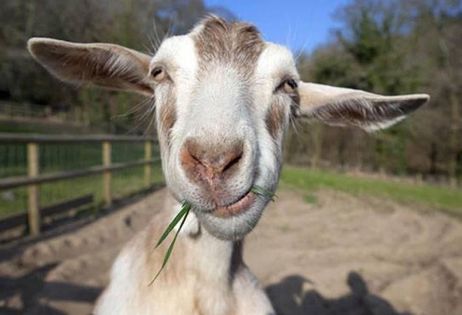 Parents can give goats as school fees instead of money in this country