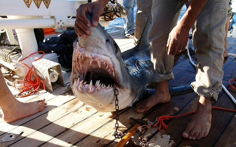 2010: The Egyptian ministry of environment released photos of a shark believed to be behind an attack on tourists in the Red Sea resort of Sharm el-Sheikh - AFP/Getty Images