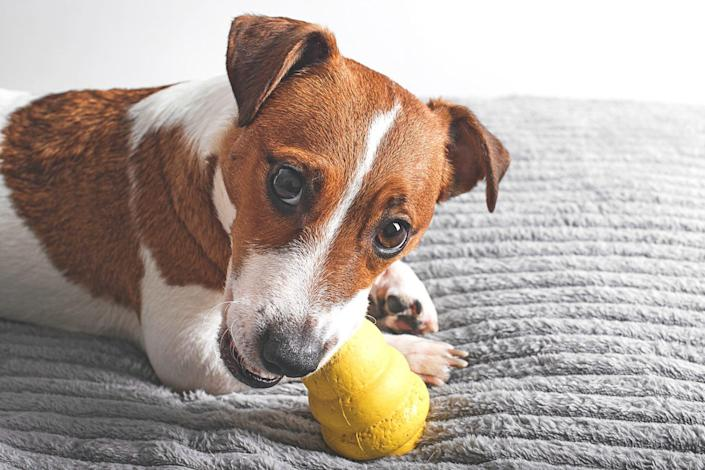 Jack Russell dog with a Kong toy