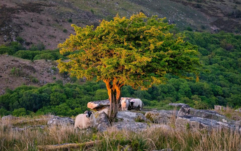Sheep underneath a tree in Dartmoor which is lit up by the sunset - Devon and Cornwall Photography/Getty