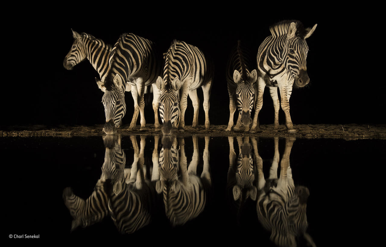 <p>For Charl, nothing beats the excitement and anticipation of sitting in wait at a waterhole during the dry season, knowing that anything can appear out of the darkness. The herd of zebra in South Africa's Zimanga Game Reserve surpassed his wildest wishes, and the still conditions resulted in a near-perfect reflection.<br /><br /><br />(Wildlife Photographer of the Year) </p>