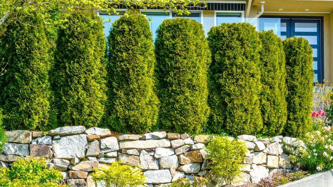 evergreen trees in front yard