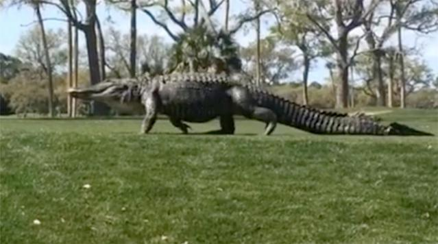 If you haven't had your fill of massive gators moseying across golf courses or smaller gators eating golfers' balls, then, man, do we have a gator video for you.