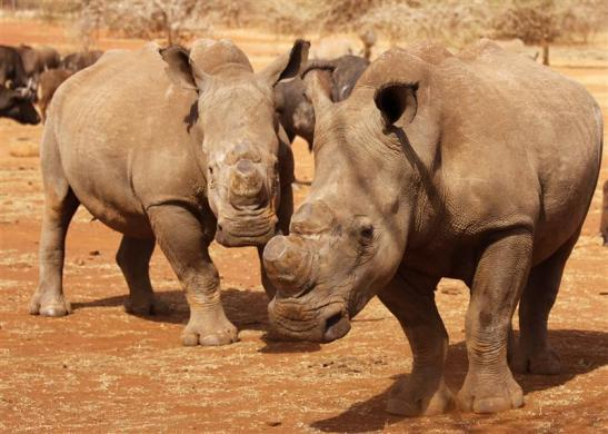 Dehorned rhinos are seen at the Kruger national park in Mpumalanga province September 16, 2011.