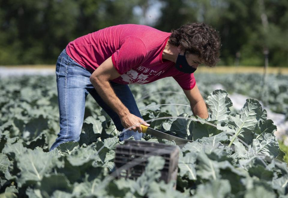 """<span class=""""caption"""">Prime Minister Justin Trudeau harvests broccoli at the Ottawa Food Bank Farm on Canada Day 2020. </span> <span class=""""attribution""""><span class=""""source"""">THE CANADIAN PRESS/Justin Tang</span></span>"""