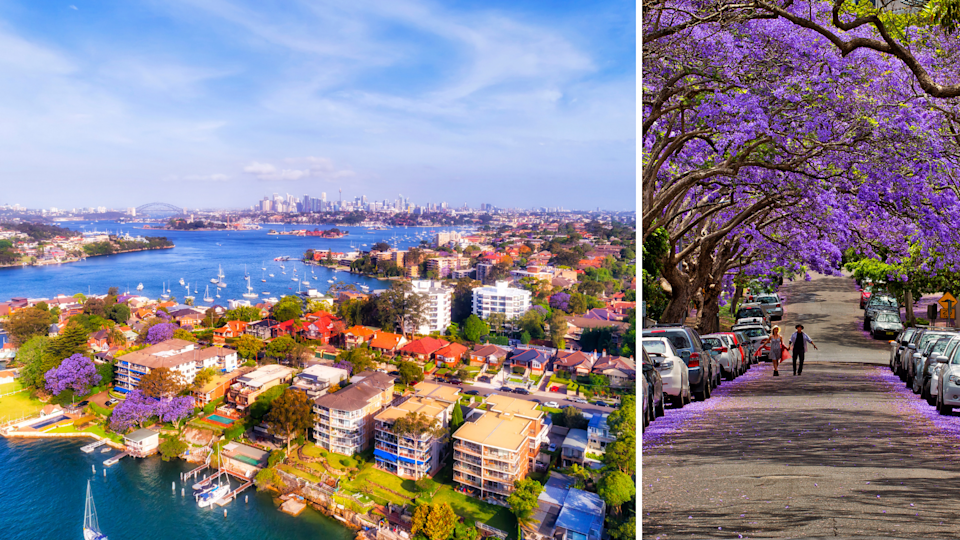 Aerial shot of Sydney suburbs in Spring with jacarandas blooming