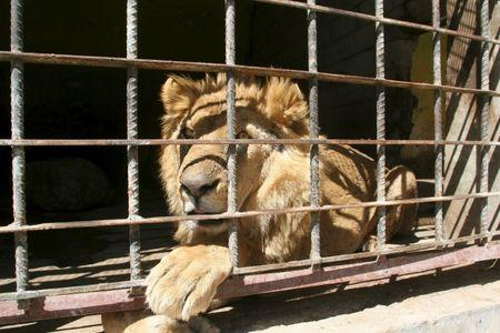 A lion sits inside its cage at a zoo in Yemen's southwestern city of Taiz February 22, 2016. REUTERS/Anees Mahyoub
