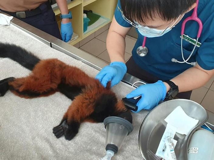 One of the twins is given a full medical check-up by a vet in Singapore (AFP Photo/Handout)